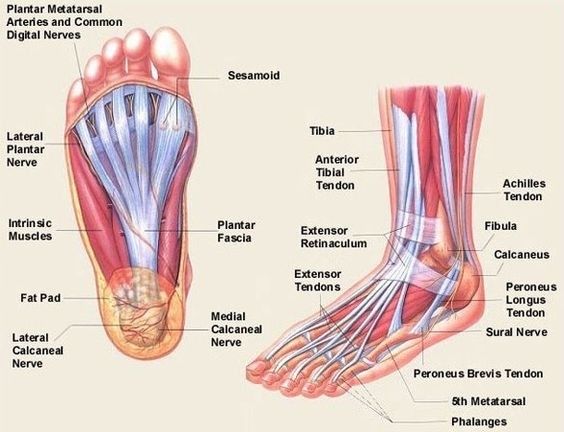 Parts Of The Foot Diagram for Human Anatomy Diagram: Ligaments Muscles Foot Anatomy Human Image on Techvi.Com Pics